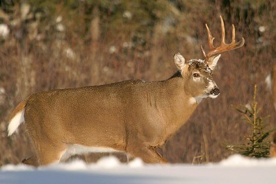 White-tails often lose one antler before the other in early winter [January; Isabella, Minnesota]