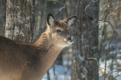 White-tailed Deer at bird feeders Skogstjarna Carlton County MNSNY04401
