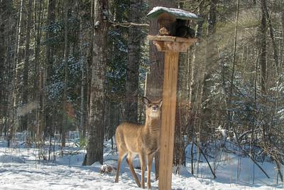 White-tailed Deer at bird feeders Skogstjarna Carlton County MNSNY04409