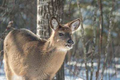 White-tailed Deer at bird feeders Skogstjarna Carlton County MNSNY04399