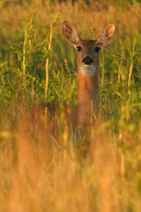 White-tailed Deer [June; Douglas County, Minnesota]