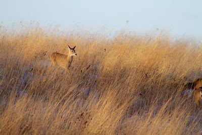 White-tailed Deer Neal Smith National Wildlife Refuge NWR Prairie City IA  IMG_2442
