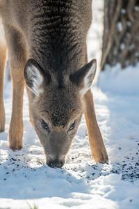 White-tailed Deer at bird feeders Skogstjarna Carlton County MNSNY04428