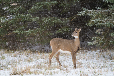 White-tailed Deer in falling snow Correction Line Road CR29-229 Sax-Zim Bog MN IMG_4758