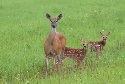 White-tailed Deer and twin fawns CR5 Sax-Zim Bog MN IMG_2469