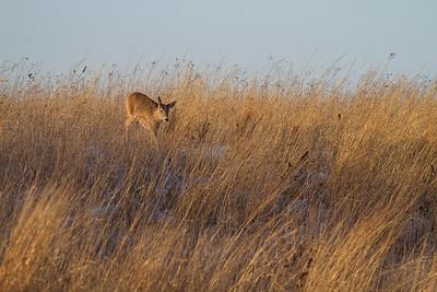 White-tailed Deer Neal Smith National Wildlife Refuge NWR Prairie City IA  IMG_2436
