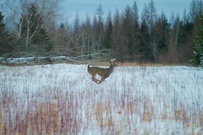 White-tailed Deer Overton Road Sax-Zim Bog MNIMG_5695