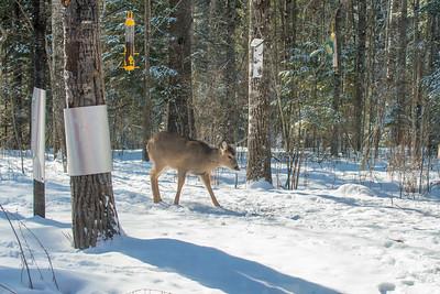 White-tailed Deer at bird feeders Skogstjarna Carlton County MNSNY04391
