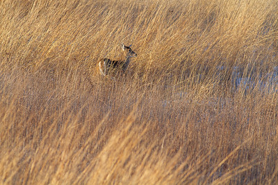 White-tailed Deer Neal Smith National Wildlife Refuge NWR Prairie City IA  IMG_2432