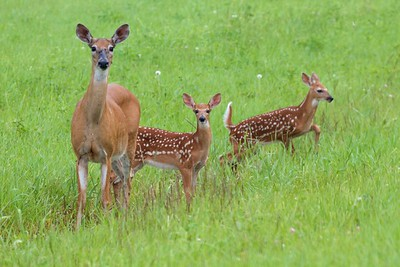 White-tailed Deer and twin fawns CR5 Sax-Zim Bog MN IMG_2475