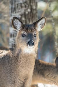 White-tailed Deer at bird feeders Skogstjarna Carlton County MNSNY04425