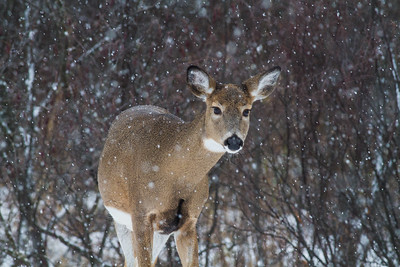 White-tailed Deer in falling snow Correction Line Road CR29-229 Sax-Zim Bog MN IMG_4735
