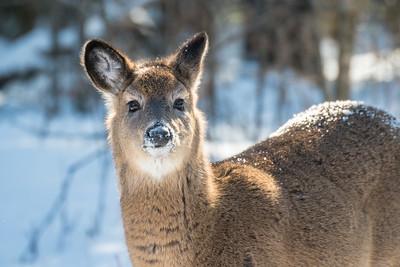 White-tailed Deer at bird feeders Skogstjarna Carlton County MNSNY04416
