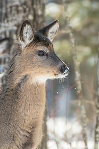 White-tailed Deer at bird feeders Skogstjarna Carlton County MNSNY04423
