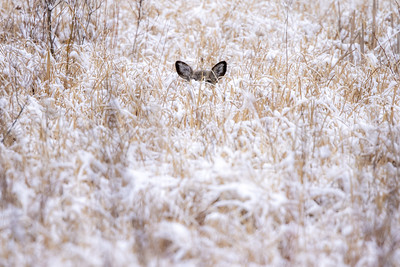 White-tailed Deer laying bedded in snow Carlton County MN  IMGC6374