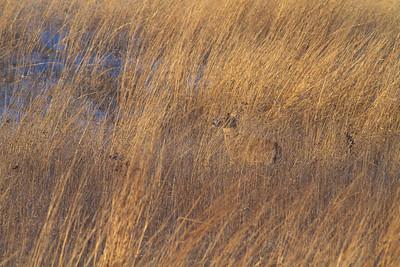 White-tailed Deer Neal Smith National Wildlife Refuge NWR Prairie City IA  IMG_2401