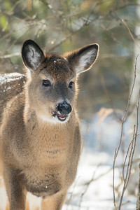 White-tailed Deer at bird feeders Skogstjarna Carlton County MNSNY04430
