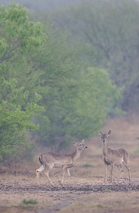 White-tailed Deer in South Texas are much smaller than their northern relatives [April; Sick Dog Ranch near Alice Texas]
