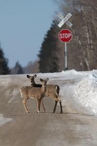 White-tailed Deer Arkola CR52 Sax-Zim Bog MN IMG_4037