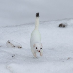 This is either a Short-tailed Weasel (Mustela erminae) or a Long-tailed Weasel (Mustela frenata)...They are nearly identical in appearance. Short-tails are called Ermine in winter when they turn white [February; Sax-Zim Bog, St. Louis County, Minnesota]