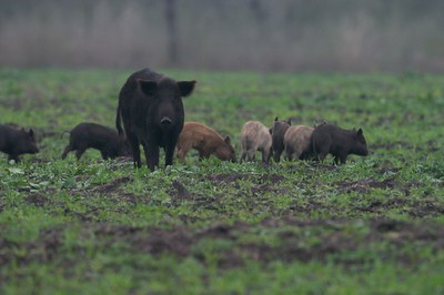 Ferel Hogs are now wild animals in South Texas; And they are extremely wary [February; Sick Dog Ranch, near Alice, Texas]