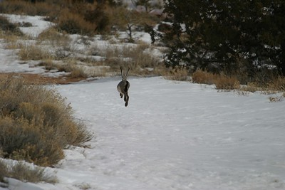 Jackrabbits are notoriously difficult to approach...as this shot demonstrates! [February; near Bryce Canyon, Utah]