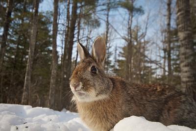 Cottontail Rabbit 20mm remote trigger Skogstjarna Carlton Co MN IMG_3519