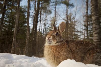Cottontail Rabbit 20mm remote trigger Skogstjarna Carlton Co MN IMG_3518