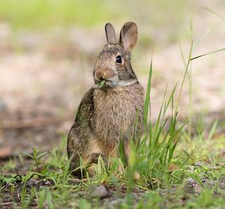 Cottontail rabbit Skogstjarna Carlton County MN DSC01936