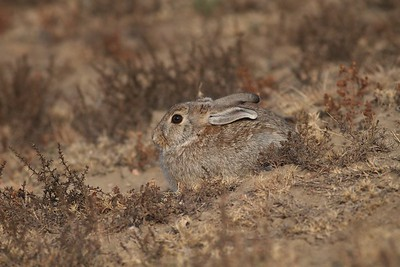 Cottontail Rabbit Teddy Roosevelt National Park ND IMG_0070054 CR2