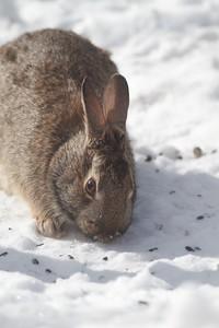 Cottontail Rabbit Skogstjarna Carlton County MN IMG_3465