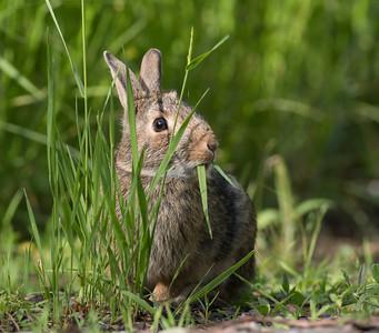 Cottontail rabbit Skogstjarna Carlton County MN DSC01908