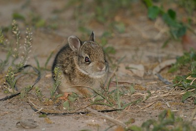 Cottontail bunny 58-398_9889