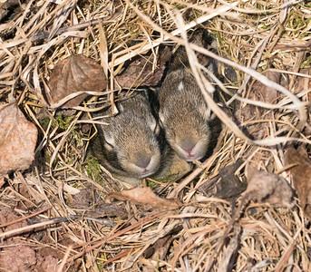 Cottontail rabbit bunnies in nest next to house Skogstjarna Carlton County MN DSC04500