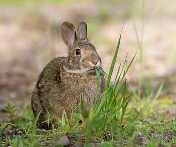 Cottontail rabbit Skogstjarna Carlton County MN DSC01939