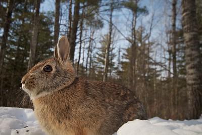 Cottontail Rabbit 20mm remote trigger Skogstjarna Carlton Co MN IMG_3520