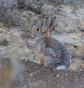 Cottontail rabbit Theodore Teddy Roosevelt National Park Medora ND IMGC0717-2