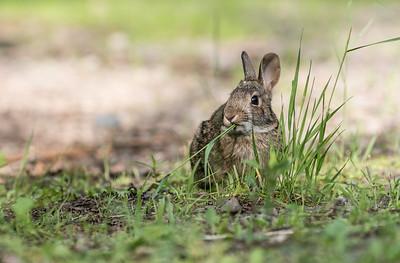 Cottontail rabbit Skogstjarna Carlton County MN DSC01928