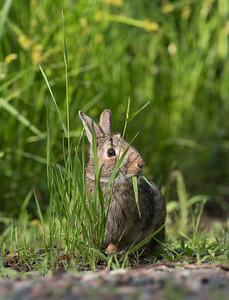 Cottontail rabbit Skogstjarna Carlton County MN DSC01909