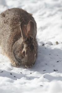 Cottontail Rabbit Skogstjarna Carlton County MN IMG_3466