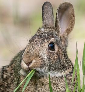 Cottontail rabbit Skogstjarna Carlton County MN DSC01927