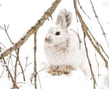 Snowshoe Hare Warren Nelson Memorial Bog Sax-Zim Bog MNIMG_0836