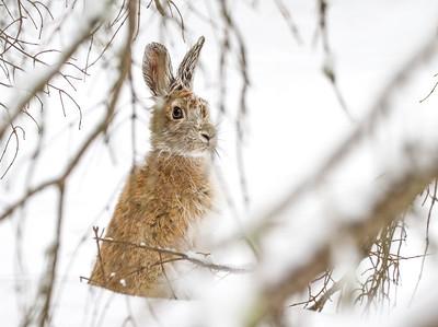 Snowshoe Hare Warren Nelson Memorial Bog Sax-Zim Bog MN IMG_0839