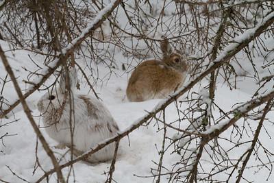 Snowshoe Hare Warren Nelson Memorial Bog Sax-Zim Bog MN IMG_0855