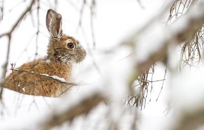 Snowshoe Hare Warren Nelson Memorial Bog Sax-Zim Bog MNIMG_0837