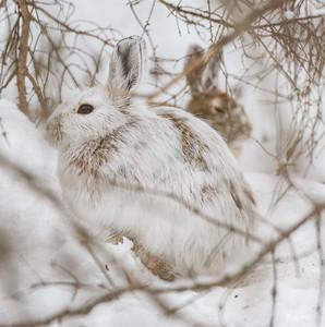 Snowshoe Hare Warren Nelson Memorial Bog Sax-Zim Bog MN IMG_0846