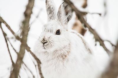 Snowshoe Hare Warren Nelson Memorial Bog Sax-Zim Bog MN IMG_0824