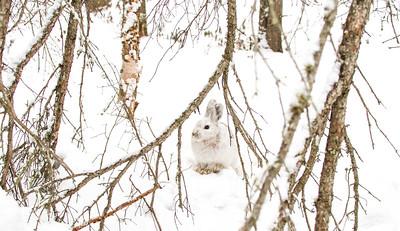 Snowshoe Hare Warren Nelson Memorial Bog Sax-Zim Bog MNIMG_0833