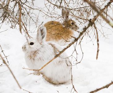 Snowshoe Hare Warren Nelson Memorial Bog Sax-Zim Bog MNIMG_0865