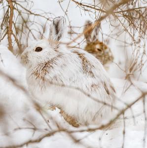 Snowshoe Hare Warren Nelson Memorial Bog Sax-Zim Bog MNIMG_0846